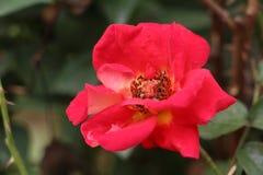 Red gossypium spp Stock Photos