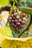 Red grape. With yellow leaf Royalty Free Stock Photos