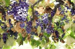 Red grape Stock Image
