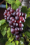 Red grape Royalty Free Stock Photography