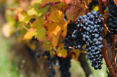 Red grape. With colorful foliage Stock Image
