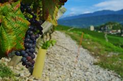 Red grape. In chignin vineyard in savoie in french alps Royalty Free Stock Photography