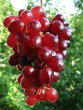 Red grape. On green background Stock Photography