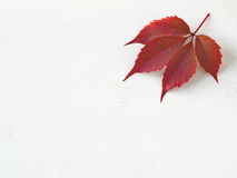 Red grape autumn leaves upon white wooden background. Copy space for your text Royalty Free Stock Images
