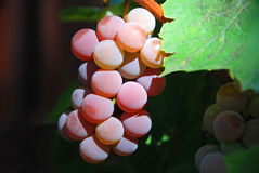 Red grape on branch Royalty Free Stock Images