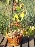 Red grape in brown wicker basket on wooden table closeup Royalty Free Stock Photography