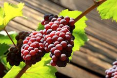 Red grape bunch Stock Photography