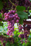 Red grape. Close up photo of red grape Cardinal Stock Photos