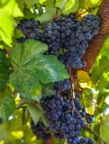 Red grape cluster with leaves royalty free stock photo