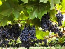 Red grape on farm Stock Photo