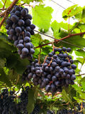 Red grape on farm Royalty Free Stock Photos