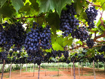 Red grape on farm Stock Photography