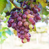 Red grape fruit Stock Photography