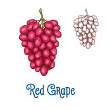 Red grape fruit isolated sketch for food design. Red grape fruit isolated sketch. Bunch of ripe grape with pink berry for wine drink label, organic vineyard Royalty Free Stock Photography