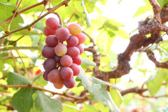 Red grape fruit and leaf Stock Photos