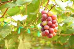Red grape fruit and leaf Royalty Free Stock Images