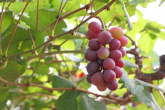 Red grape fruit Royalty Free Stock Photography