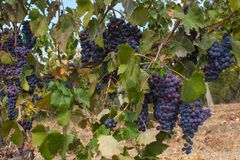 Red Grape fruit on a vine in a vineyard, nature background.  Royalty Free Stock Photos