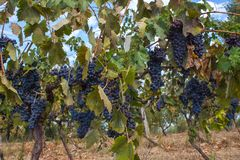 Red Grape fruit on a vine in a vineyard, nature background.  Stock Photos