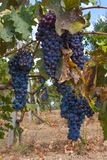 Red Grape fruit on a vine in a vineyard, nature background.  Royalty Free Stock Photo