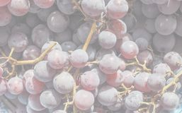 Red grape fruits, soft faded tone background. Red grape (Vitis vinifera) fruits, healthy vegetarian food, delicate soft faded tone useful as background stock images