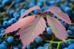 Red grape leaf close-up against a background of grapes royalty free stock photo