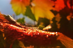Red grape leaf with drops of rain Royalty Free Stock Photo