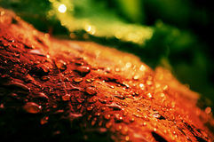 Red grape leaf with drops of rain Royalty Free Stock Images