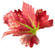 Red grape leaf isolated on the white background Stock Image