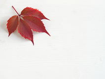 Red grape leaf on the left top corner of white wooden background. Copy space for your text Royalty Free Stock Photos