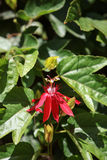 Red grape-leaf passion flower, Passiflora vitifolia Royalty Free Stock Photography