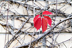 Red grape leaf on twisted branches on the gray wall of a buildin Stock Image