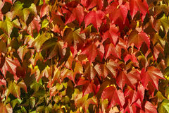 Red grape leaves in autumn Stock Photos