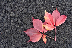 Red grape leaves on the ground Stock Images