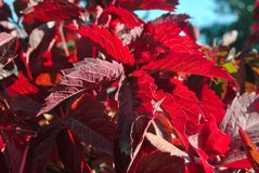 Red grape leaves. Macro close up red grape leaves royalty free stock images