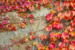 Red grape leaves of Virginia creeper Stock Photography