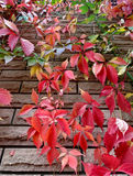 Red grape leaves on the wall grow Royalty Free Stock Image