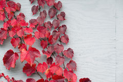 Red Grape Leaves on Wood Royalty Free Stock Photo