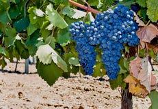 Red grape Mavrud. Bulgarian grape Mavrud and big cluster Royalty Free Stock Photos