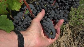 Red grape at perfect ripeness. The grapes are ready to harvest stock video footage