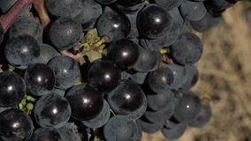 Red grape at perfect ripeness. The grapes are ready to harvest stock footage