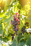 Red grape (purple grape) - wine grapes on grapevine. Lit by sunlight Royalty Free Stock Photography