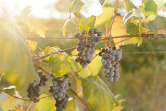 Red Grape in Sunlight Royalty Free Stock Images