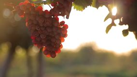 Red grape at sunset Royalty Free Stock Photo