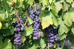 Red grape on the vine. This is a close up shot of red grape on the vine, before harvest Royalty Free Stock Photos