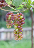Red grape vine. In vineyard Stock Photography