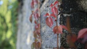 Red grape vine branch climbs brick wall stock video footage