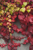 Red grape vine leaves Royalty Free Stock Photography