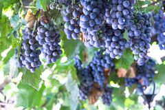 Red grape at vine. Many bunches of ripe red grape at vine outdoor harvesting season concept . close up shot with copy space royalty free stock photography