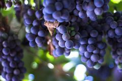 Red grape at vine. Many bunches of ripe red grape at vine outdoor harvesting season concept . close up shot with copy space royalty free stock photo